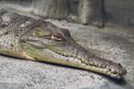 Orinoco Crocodile by MonsterBrand