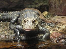 Alligator by borntoridehorses9793