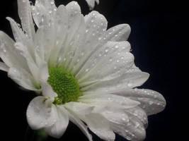 Daisy by WillowxHeart