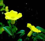 Bunga hing manah