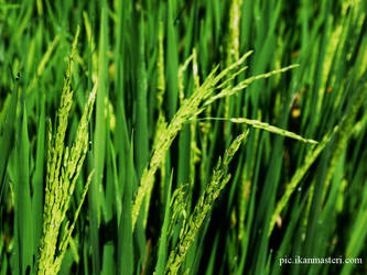 Rice... by maztrie
