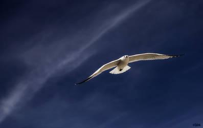 Seagull by IHEA