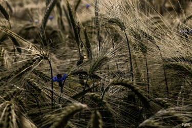 Field and cornflower by IHEA