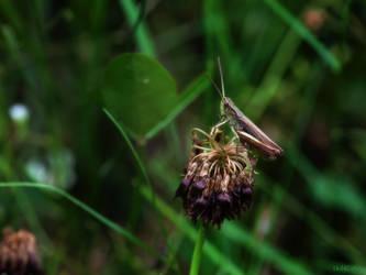 Rufous Grasshopper by IHEA