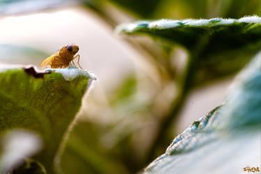 Sapromyza by IHEA