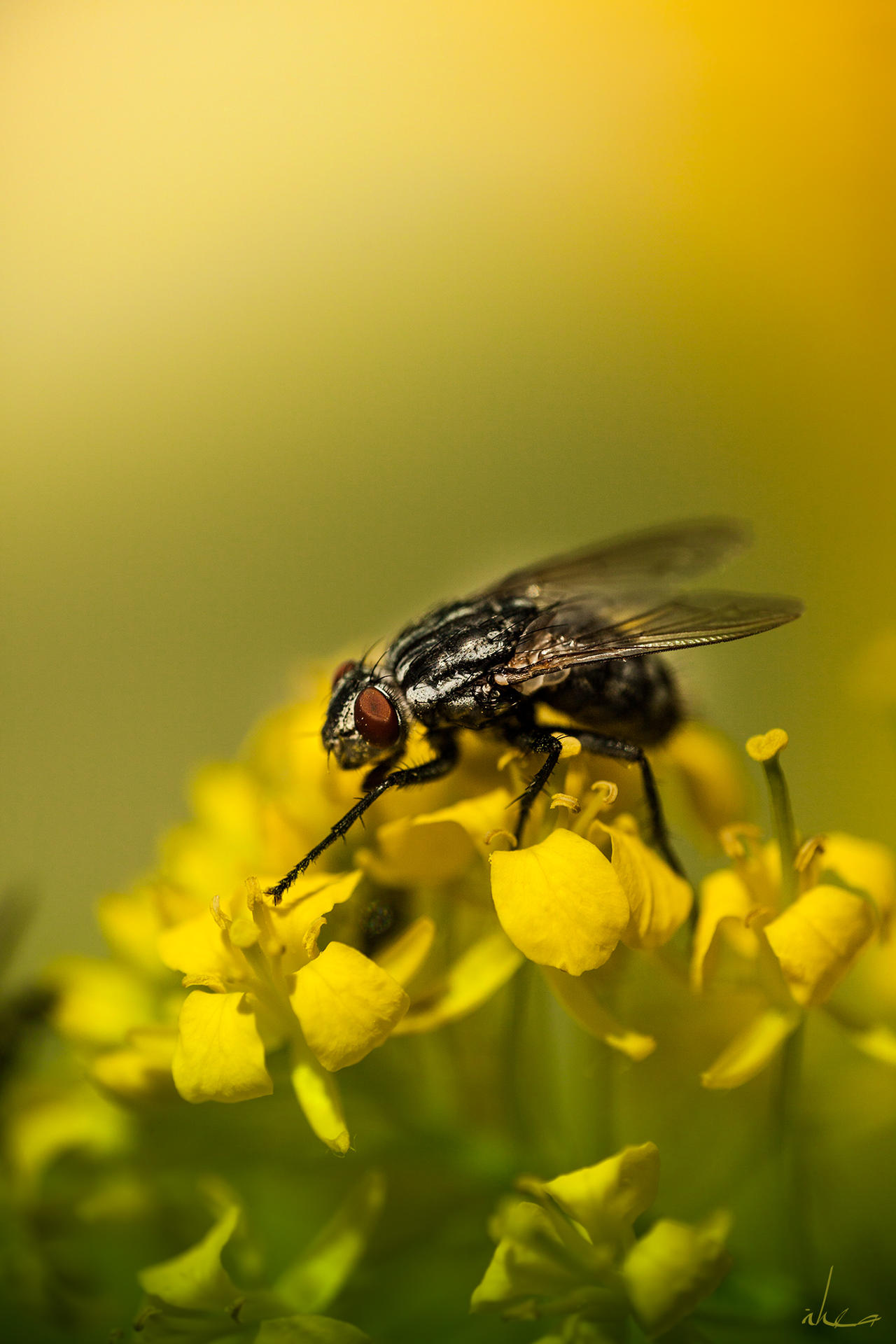 Black on Yellow by IHEA
