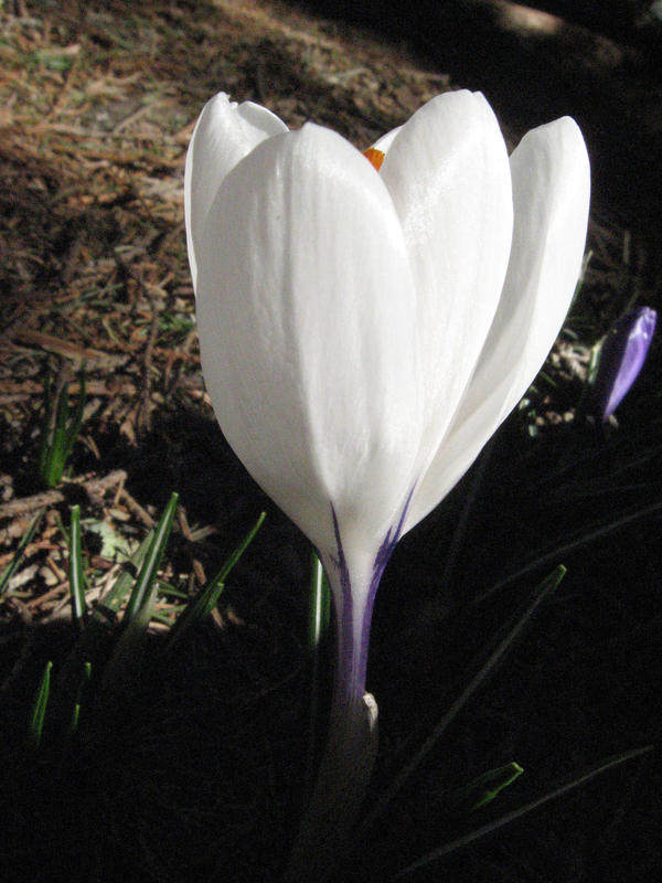 white crocus by LuckyStock