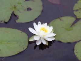 Water Lily by AwetumJoygasm
