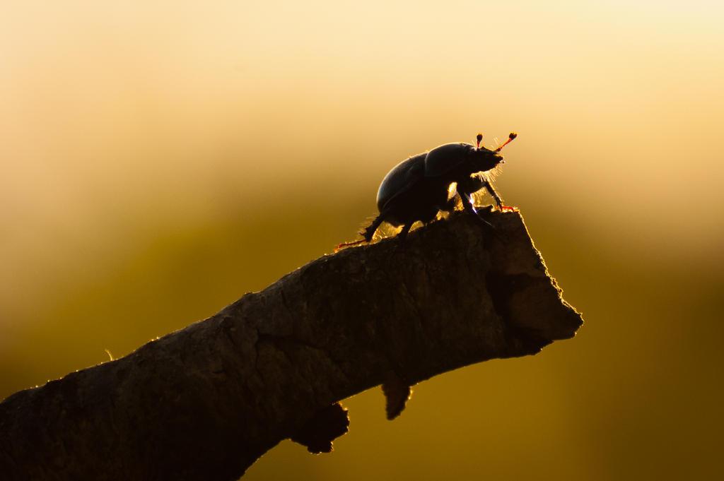 Dung Beetle by DeborahBeeuwkes