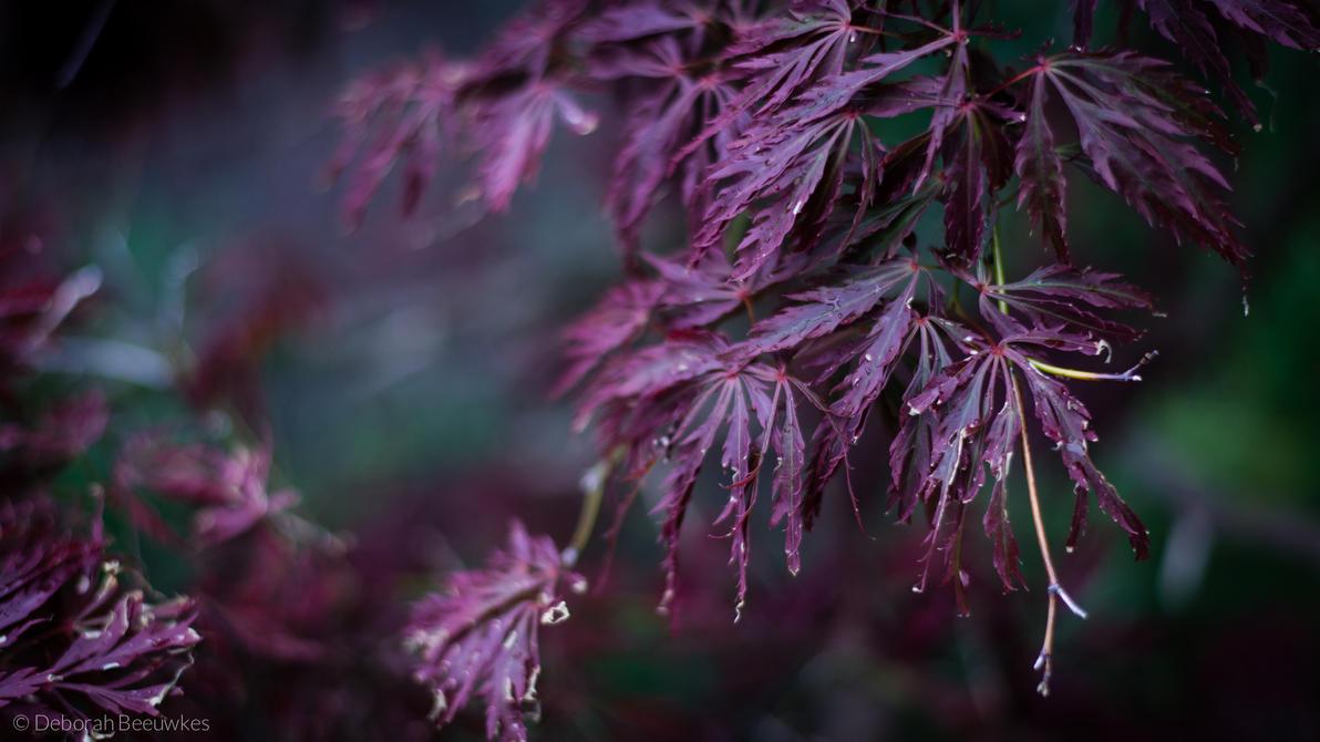 Japanese Maple by DeborahBeeuwkes