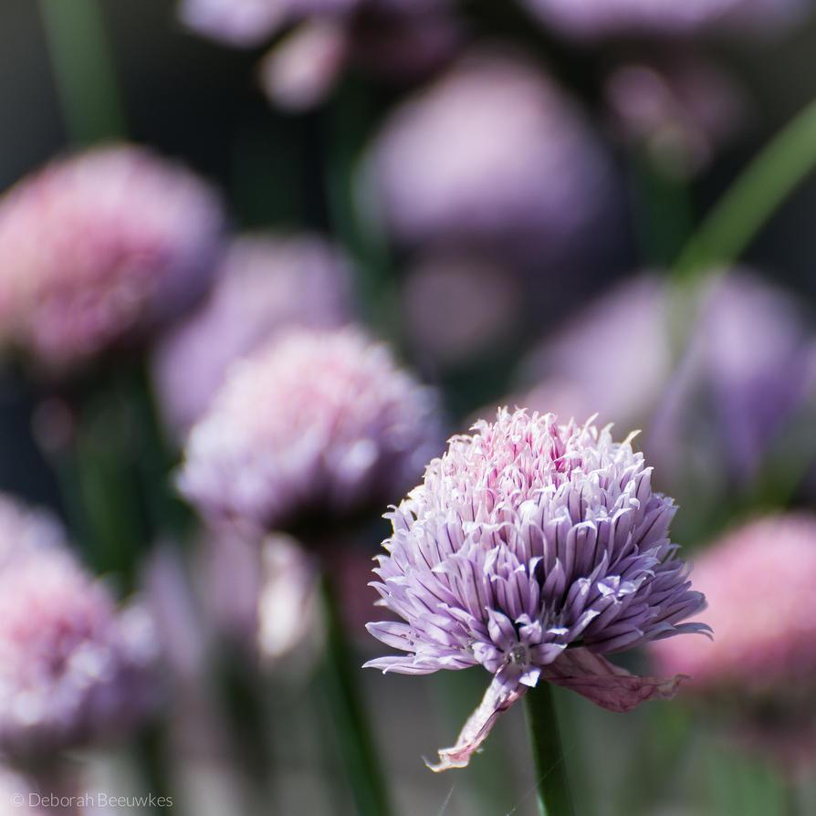 Blooming chives by DeborahBeeuwkes