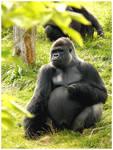 Naughty gorilla
