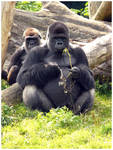 Gorilla and wife