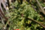 Garden Spider + Web