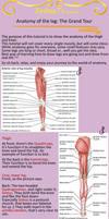 Anatomy of the leg: grand tour