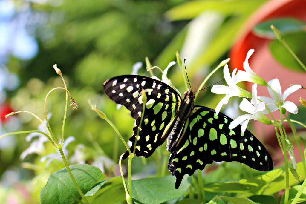 Tailed jay butterfly by paradoxgirl411 on deviantart - Dow gardens butterfly house 2017 ...