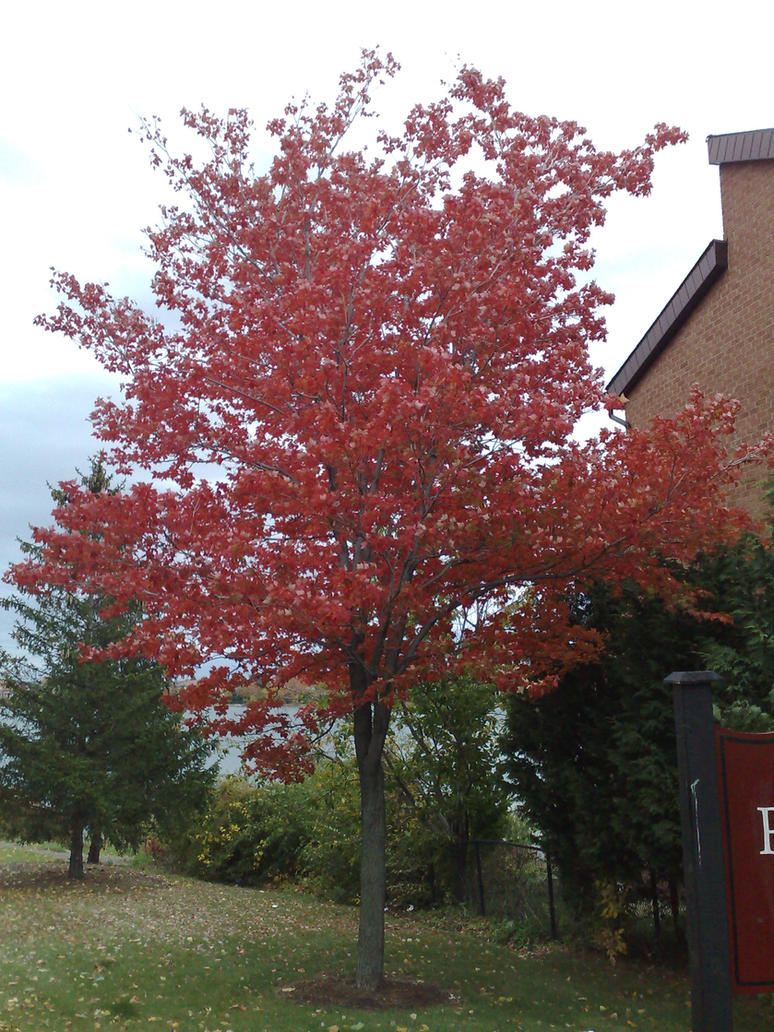 Red Maple Tree By Gaachan On DeviantArt