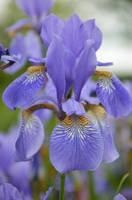 BLUE IRIS by major-holdups