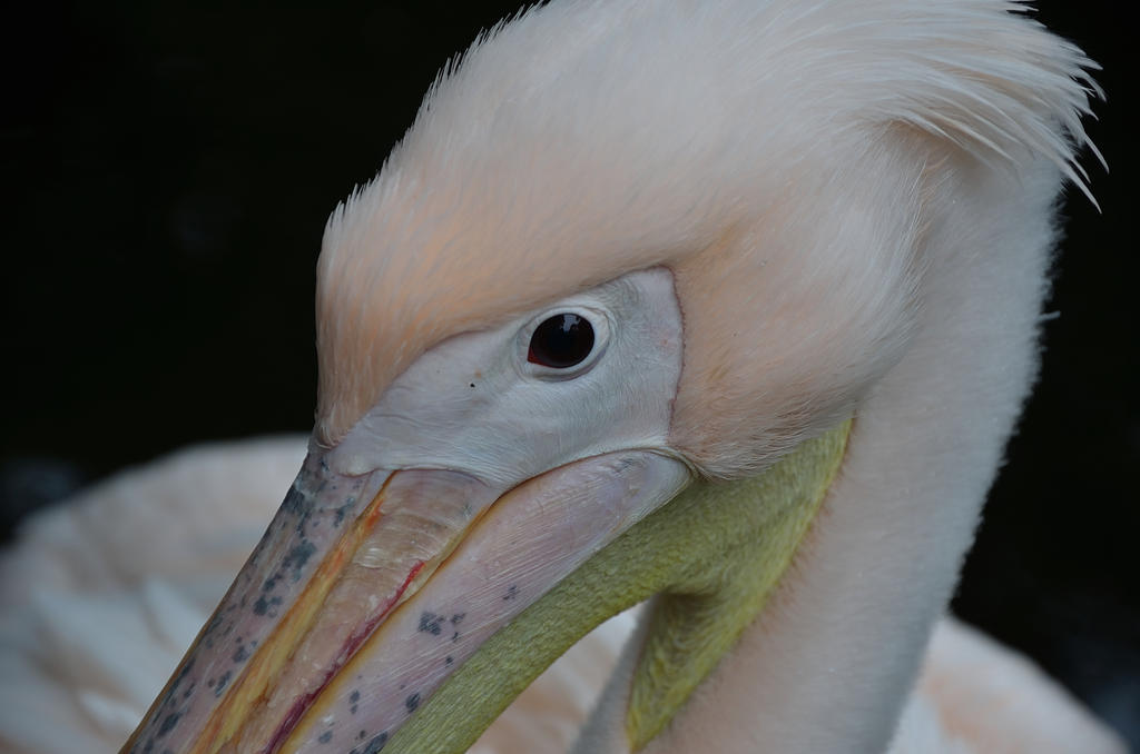 PELICAN EYE by major-holdups