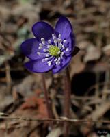 Hepatica nobilis by Tuulikannel