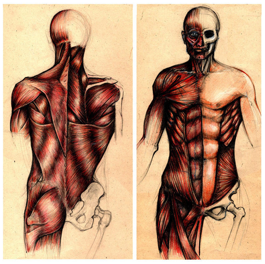Human Anatomy By Bbartel On Deviantart