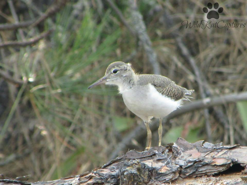 Spotted Sandpiper by WildKatCaptures