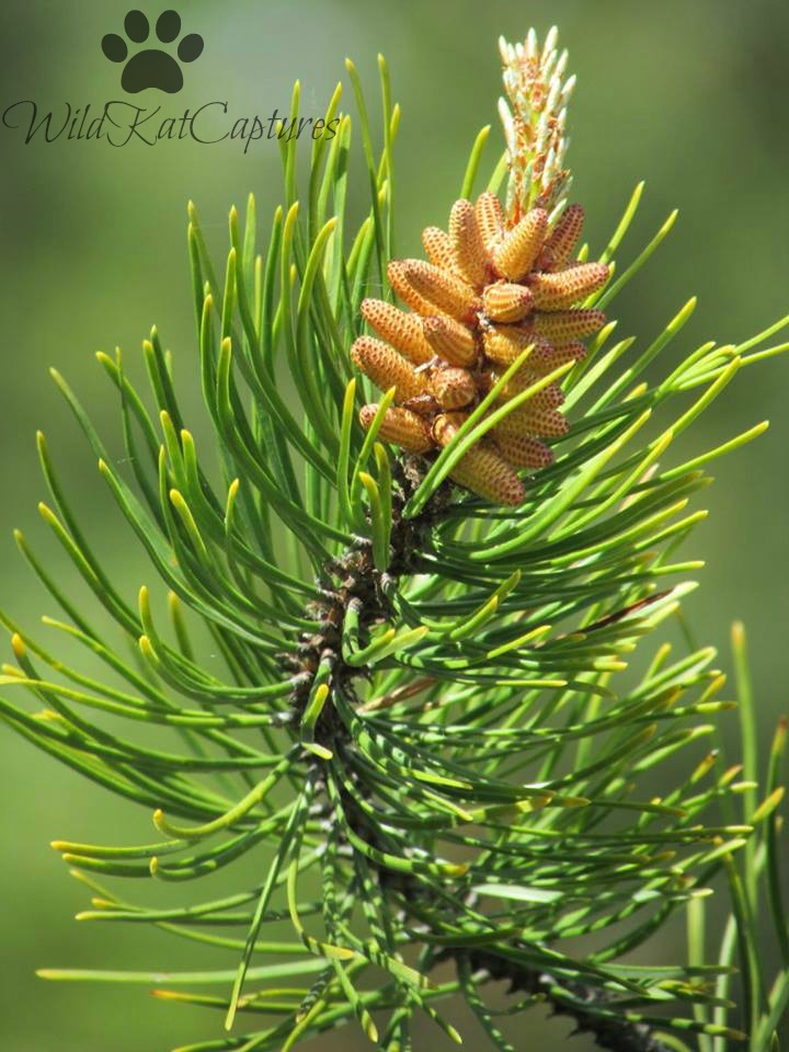 Birth of a Pinecone by WildKatCaptures