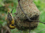 Male Weaver Bird on nest