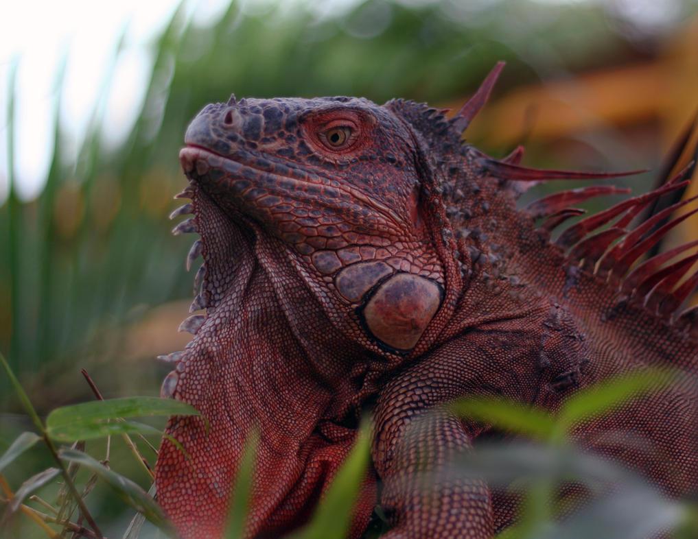 Red Iguana by jramey on DeviantArt