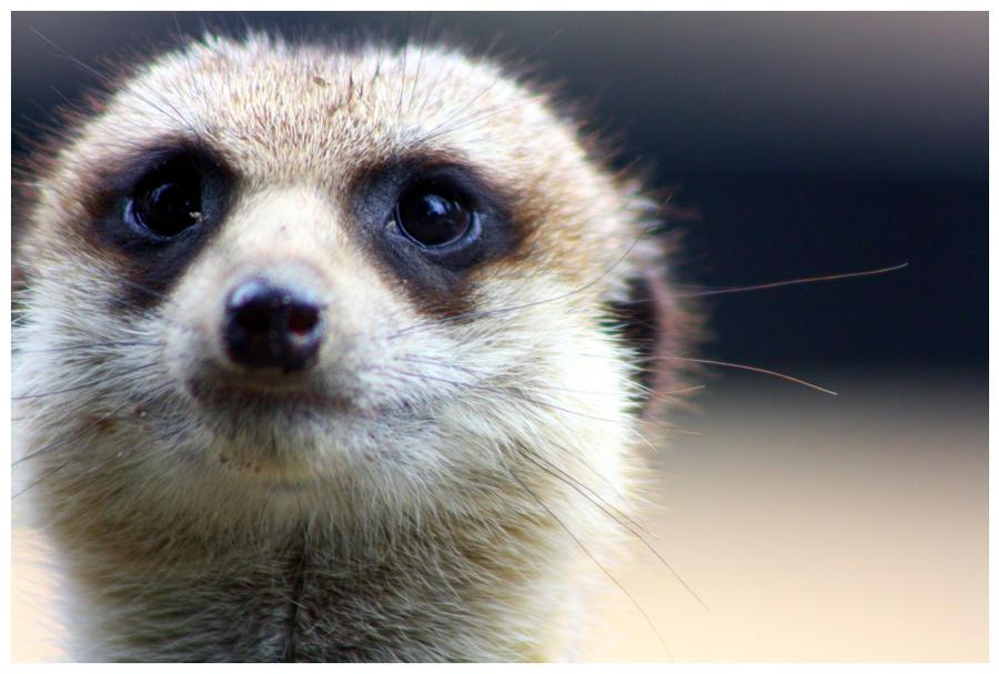 Eye of Meerkat by tame...