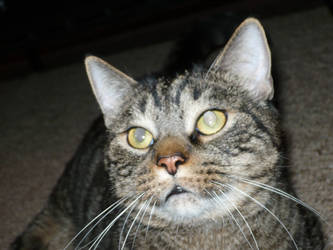 My Cat Simon--BigBoi by deuce6000