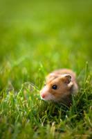 Hamster Explorer by Razgriz-Six