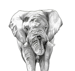 Elephant in Graphite Pencil by BethL-Art