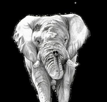 Elephant in Graphite Pencil