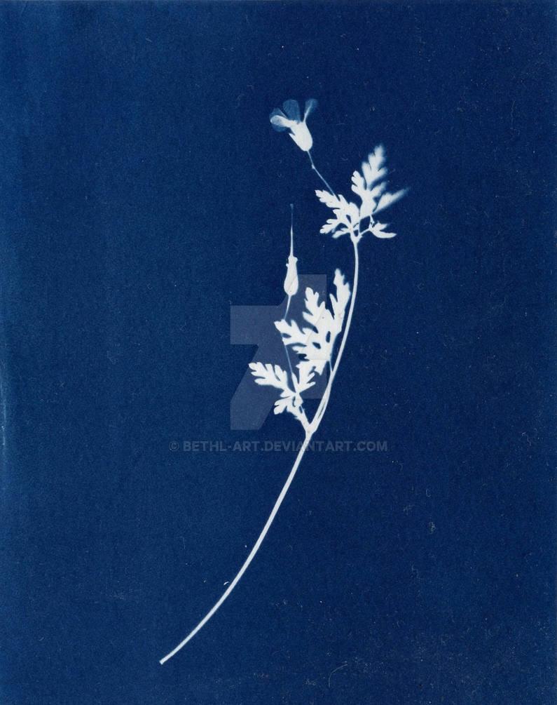 Geranium robertianum - Cyanotype Print