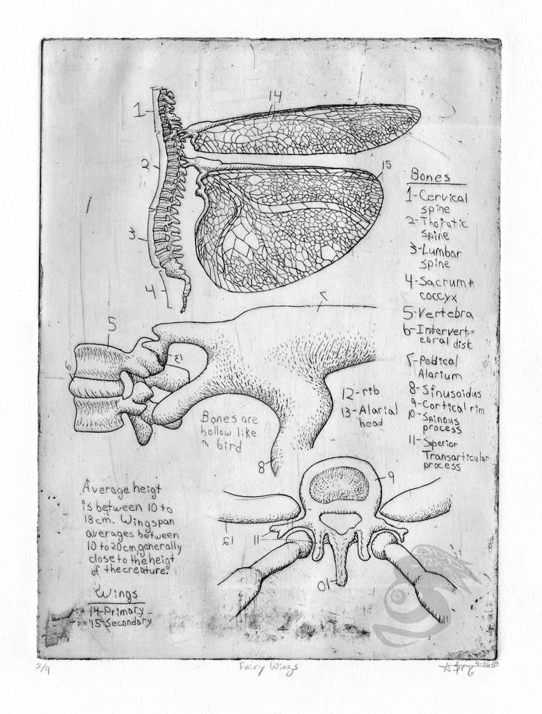 Fairy Wing Anatomy