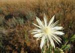 White Prairie Flower