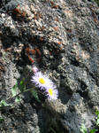 Purple Flowers and Rock