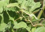 Fat Young Grasshopper
