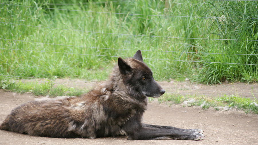 black wolf by Misc-Photography