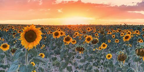 Last of Summer's Sunflowers