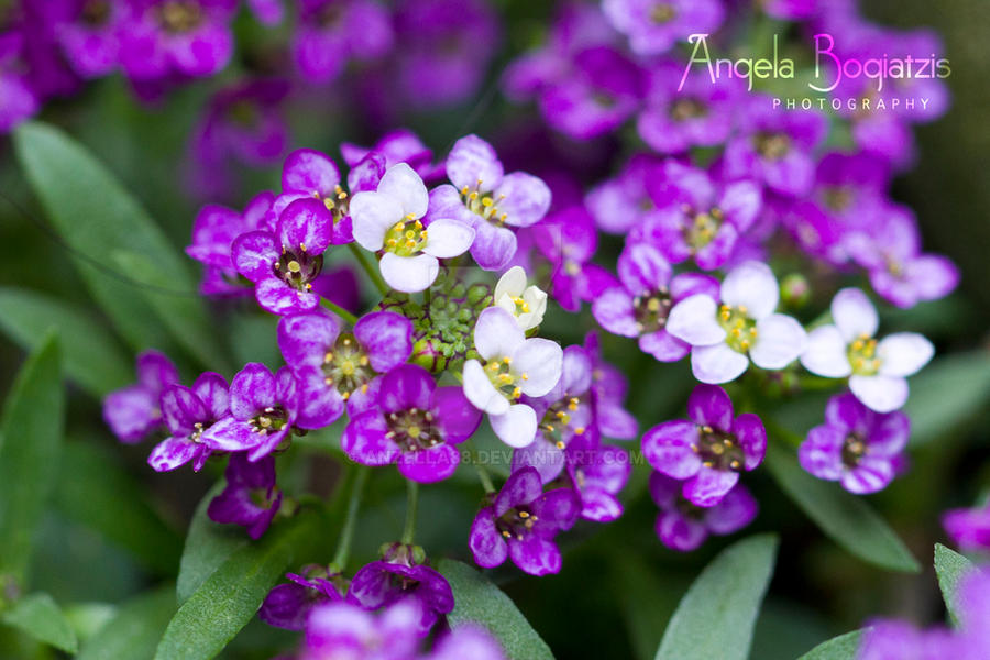 Purple and white flowers by anzella88 on deviantart purple and white flowers by anzella88 mightylinksfo
