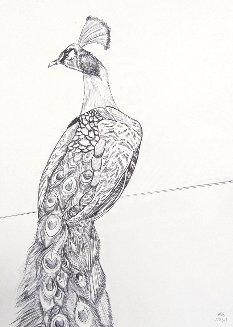 peacock pen drawing by hms 08