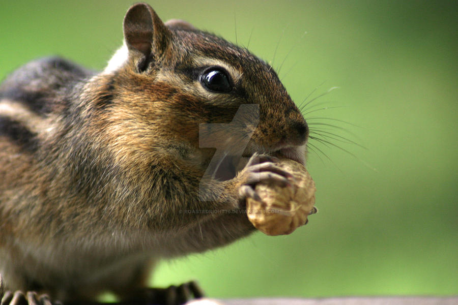 Chipmunk Closeup by RoastedRight76