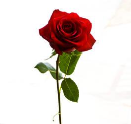 Rose Stock by BreAnn