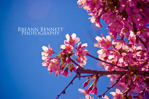 Blossoms 1 by BreAnn