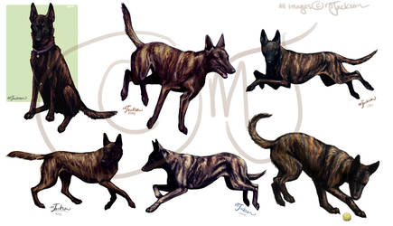 Dutch Shepherd Studies #2 by mJackson