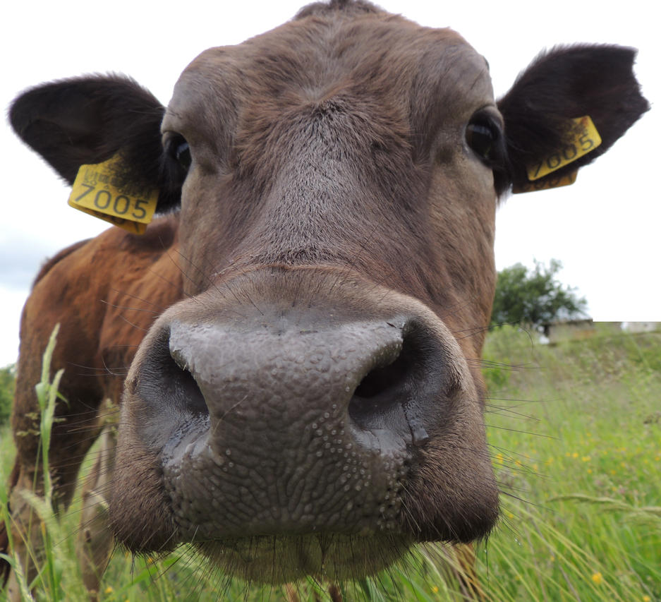 Humen cow hentai clip