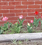 Tulips on Hayward ST by TominConcord