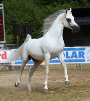 Arabian 8 by Kiwiaa